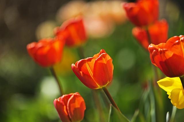 viac tulipánov.jpg